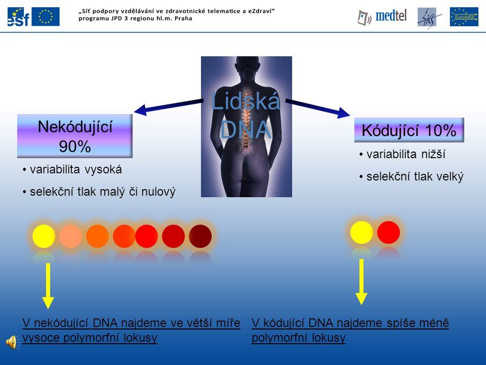 Lidská DNA Nekódující 90% Kódující 10% variabilita vysoká selekční tlak malý či nulový variabilita nižší selekční tlak velký V nekódující DNA najdeme