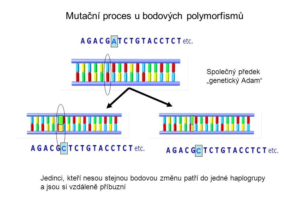 """Mutační proces u bodových polymorfismů Společný předek """"genetický Adam Jedinci, kteří nesou stejnou bodovou změnu patří do jedné haplogrupy a jsou si vzdáleně příbuzní C A C"""