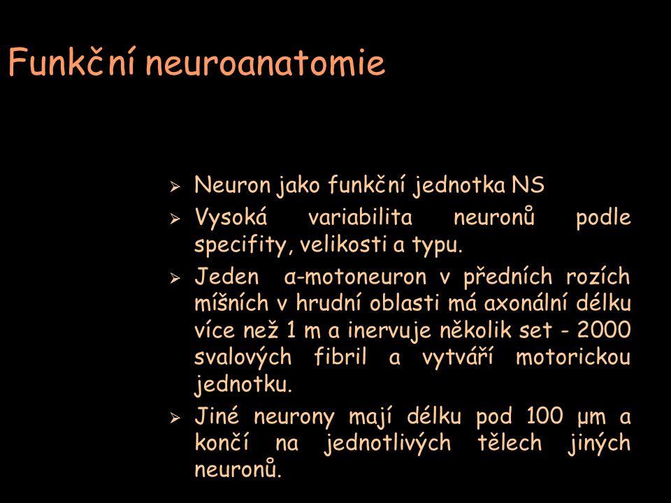 Funkční neuroanatomie  Neuron jako funkční jednotka NS  Vysoká variabilita neuronů podle specifity, velikosti a typu.  Jeden α-motoneuron v předníc