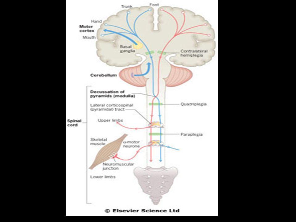 Kortikospinální (pyramidový systém)  Je tvořen neurony 5.