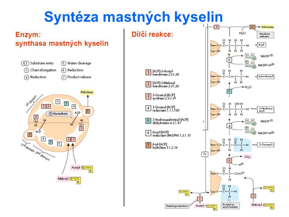 Enzym: synthasa mastných kyselin Syntéza mastných kyselin Dílčí reakce: