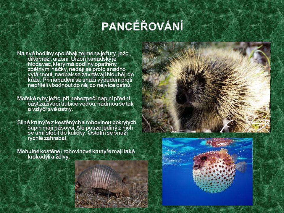 PANCÉŘOVÁNÍ Na své bodliny spoléhají zejména ježury, ježci, dikobrazi, urzoni. Urzon kanadský je hlodavec, který má bodliny opatřeny zpětnými háčky, n