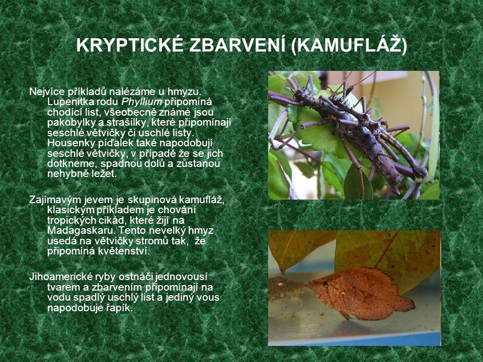 KRYPTICKÉ ZBARVENÍ (KAMUFLÁŽ) Nejvíce příkladů nalézáme u hmyzu. Lupenitka rodu Phyllium připomíná chodící list, všeobecně známé jsou pakobylky a stra