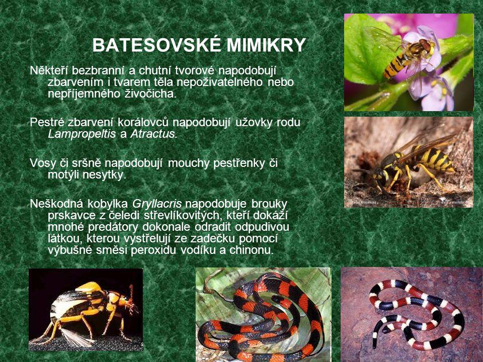 BATESOVSKÉ MIMIKRY Někteří bezbranní a chutní tvorové napodobují zbarvením i tvarem těla nepoživatelného nebo nepříjemného živočicha. Pestré zbarvení