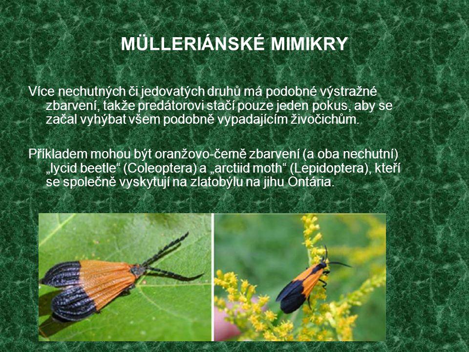 MÜLLERIÁNSKÉ MIMIKRY Více nechutných či jedovatých druhů má podobné výstražné zbarvení, takže predátorovi stačí pouze jeden pokus, aby se začal vyhýba