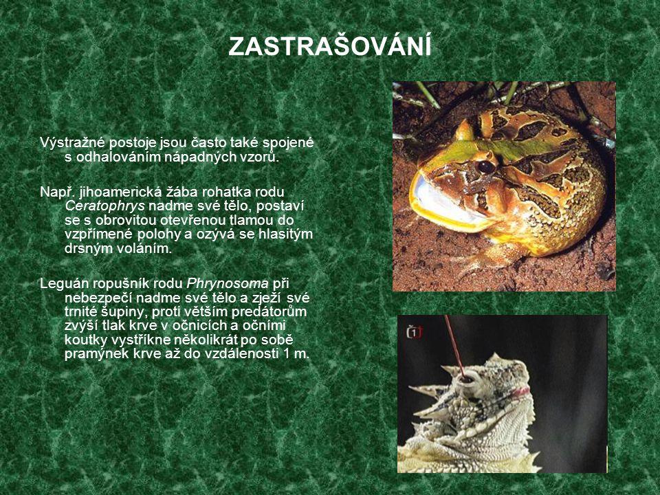 ZASTRAŠOVÁNÍ Výstražné postoje jsou často také spojené s odhalováním nápadných vzorů. Např. jihoamerická žába rohatka rodu Ceratophrys nadme své tělo,