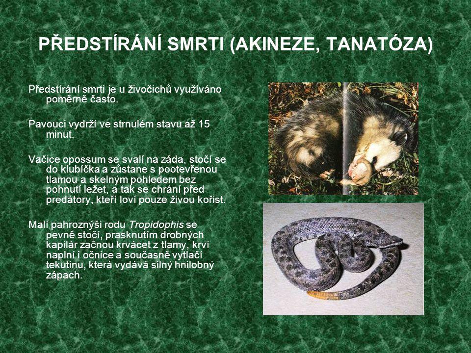 PŘEDSTÍRÁNÍ SMRTI (AKINEZE, TANATÓZA) Předstírání smrti je u živočichů využíváno poměrně často. Pavouci vydrží ve strnulém stavu až 15 minut. Vačice o