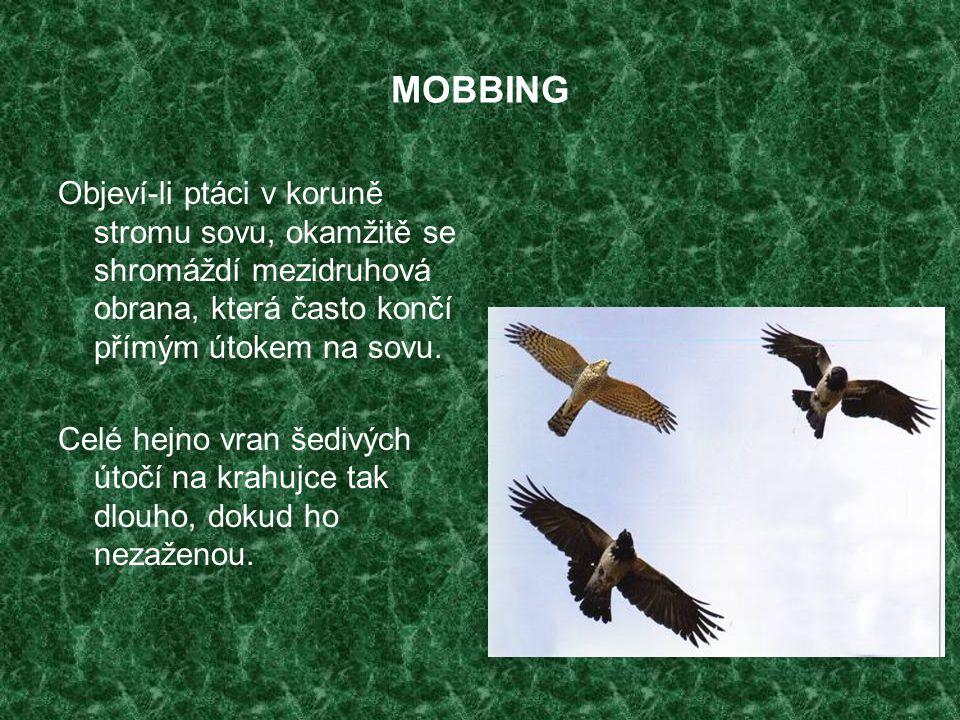 MOBBING Objeví-li ptáci v koruně stromu sovu, okamžitě se shromáždí mezidruhová obrana, která často končí přímým útokem na sovu. Celé hejno vran šediv