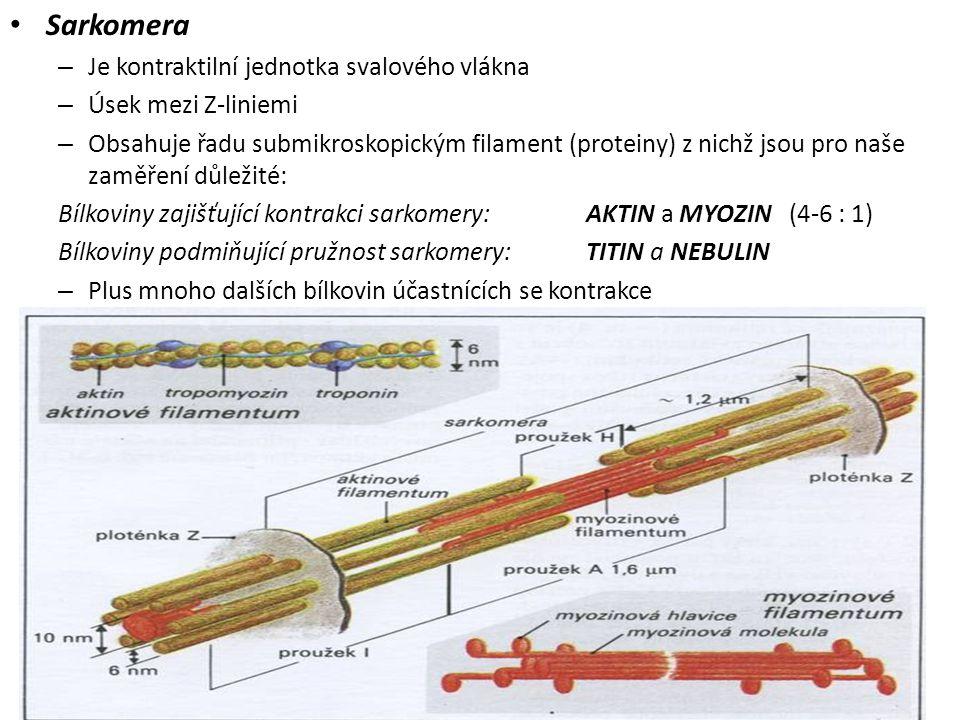Sarkomera – Je kontraktilní jednotka svalového vlákna – Úsek mezi Z-liniemi – Obsahuje řadu submikroskopickým filament (proteiny) z nichž jsou pro naš