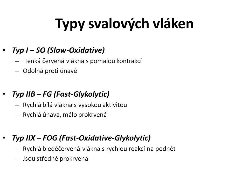 Typy svalových vláken Typ I – SO (Slow-Oxidative) – Tenká červená vlákna s pomalou kontrakcí – Odolná proti únavě Typ IIB – FG (Fast-Glykolytic) – Ryc