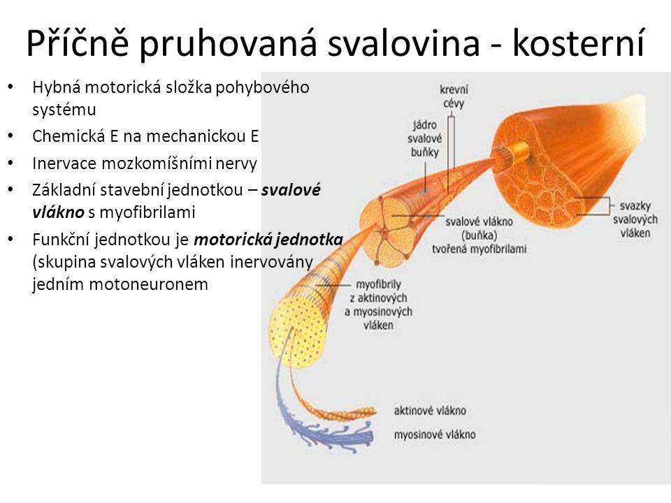 Svalové vlákno: Mnohojaderné (jádra na povrchu b.) Silné 10 – 100  m Dlouhé mm – několik cm (30cm) Vlákna dlouhá jako délka svalu Skládá se z myofibril – obsahují myofilamenta – aktinových / myozinových V poměru na 1 myozinové vlákno připadne 4-6 aktinových filament Okolo myofibril jsou početné systémy trubic endoplazmatického retikula (sarkoplazmatického) – nezbytné pro tok Ca 2+ iontů nezbytných pro průběh kontrakce Na povrchu sv.