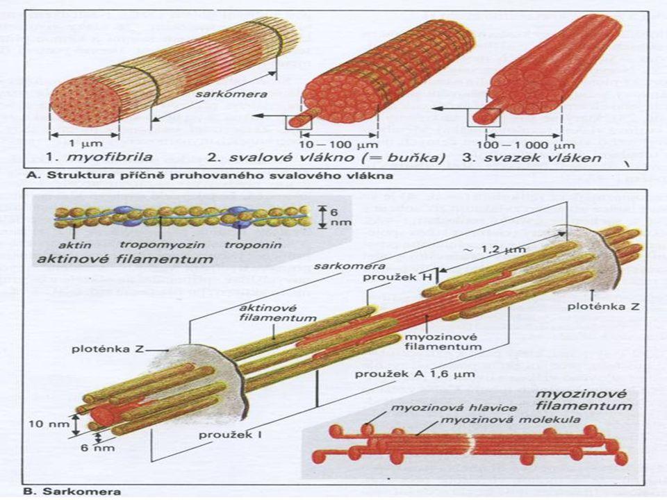 Sarkomera – Je kontraktilní jednotka svalového vlákna – Úsek mezi Z-liniemi – Obsahuje řadu submikroskopickým filament (proteiny) z nichž jsou pro naše zaměření důležité: Bílkoviny zajišťující kontrakci sarkomery:AKTIN a MYOZIN (4-6 : 1) Bílkoviny podmiňující pružnost sarkomery:TITIN a NEBULIN – Plus mnoho dalších bílkovin účastnících se kontrakce