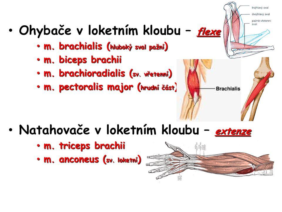 Ohybače v loketním kloubu – flexe Ohybače v loketním kloubu – flexe m. brachialis ( hluboký sval pažní ) m. brachialis ( hluboký sval pažní ) m. bicep
