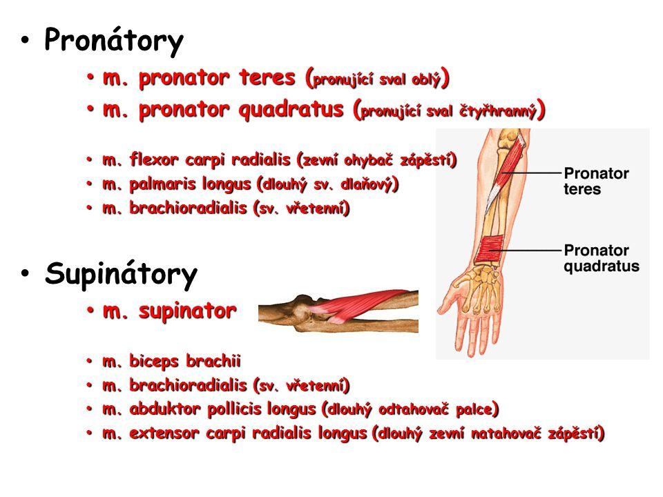 Pronátory Pronátory m. pronator teres ( pronující sval oblý ) m. pronator teres ( pronující sval oblý ) m. pronator quadratus ( pronující sval čtyřhra