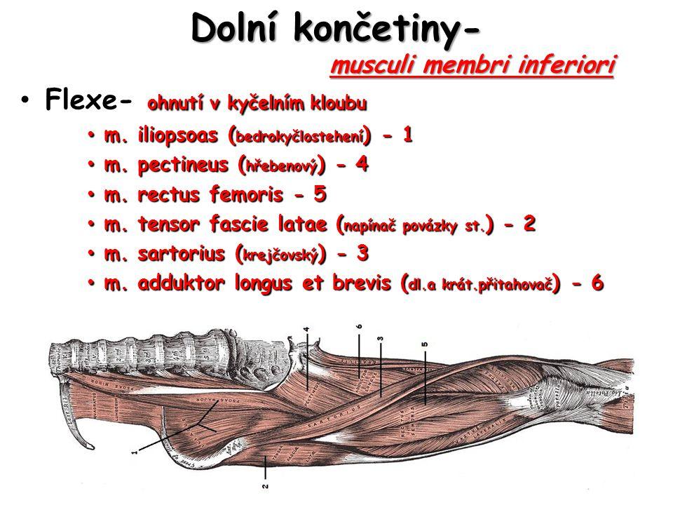 Dolní končetiny-musculi membri inferiori Dolní končetiny- musculi membri inferiori Flexe- ohnutí v kyčelním kloubu Flexe- ohnutí v kyčelním kloubu m.