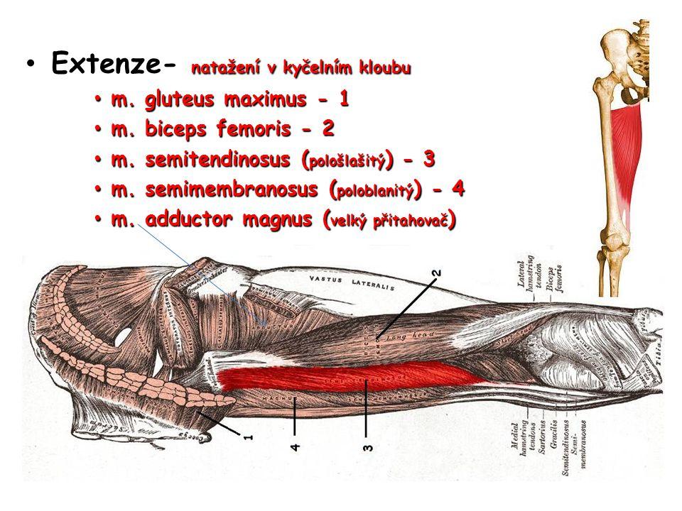 Extenze- natažení v kyčelním kloubu Extenze- natažení v kyčelním kloubu m. gluteus maximus - 1 m. gluteus maximus - 1 m. biceps femoris - 2 m. biceps