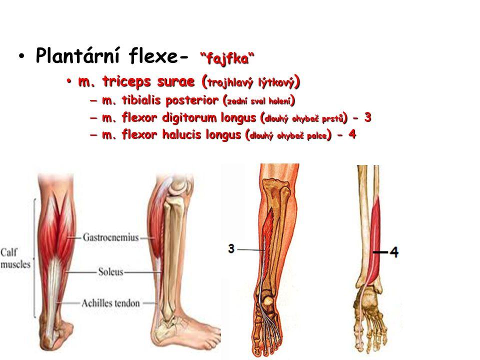 """Plantární flexe- """"fajfka"""" Plantární flexe- """"fajfka"""" m. triceps surae ( trojhlavý lýtkový ) m. triceps surae ( trojhlavý lýtkový ) – m. tibialis poster"""