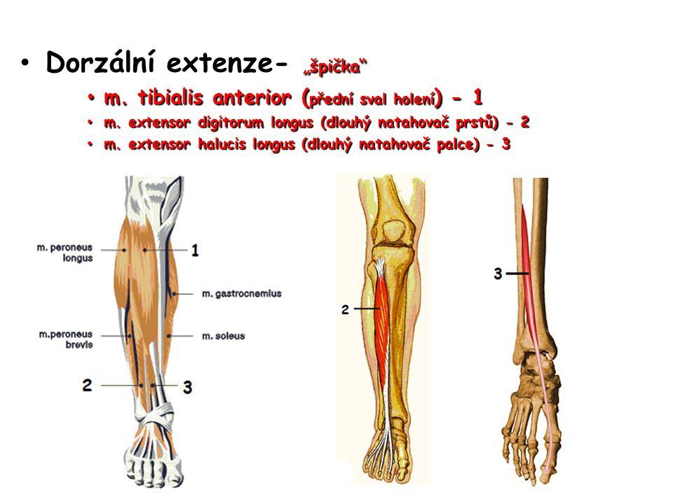"""Dorzální extenze- """"špička"""" Dorzální extenze- """"špička"""" m. tibialis anterior ( přední sval holení ) - 1 m. tibialis anterior ( přední sval holení ) - 1"""