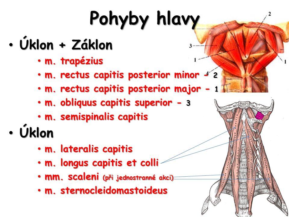 Pohyby hlavy Úklon + Záklon Úklon + Záklon m. trapézius m. trapézius m. rectus capitis posterior minor - 2 m. rectus capitis posterior minor - 2 m. re