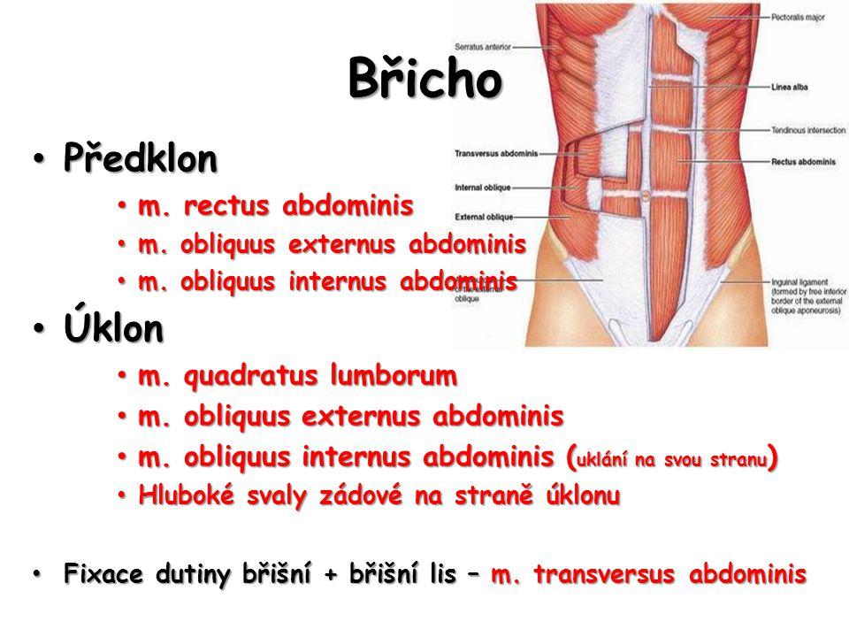 Břicho Předklon Předklon m. rectus abdominis m. rectus abdominis m. obliquus externus abdominis m. obliquus externus abdominis m. obliquus internus ab