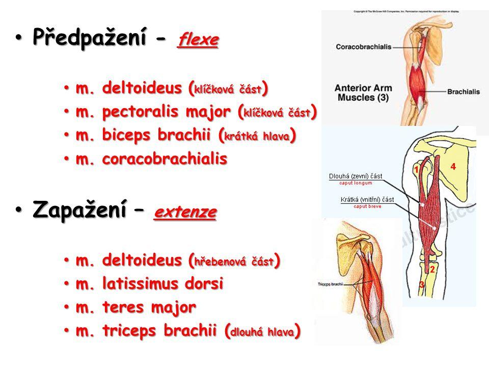 Předpažení - flexe Předpažení - flexe m. deltoideus ( klíčková část ) m. deltoideus ( klíčková část ) m. pectoralis major ( klíčková část ) m. pectora