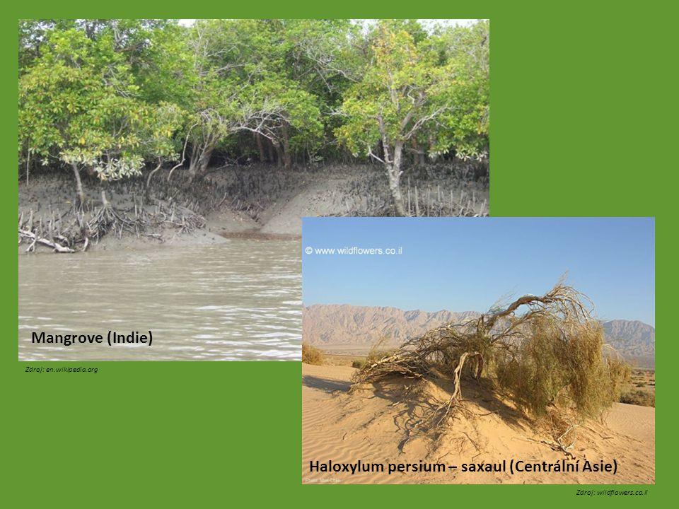 Zdroj: en.wikipedia.org Zdroj: wildflowers.co.il Mangrove (Indie) Haloxylum persium – saxaul (Centrální Asie)