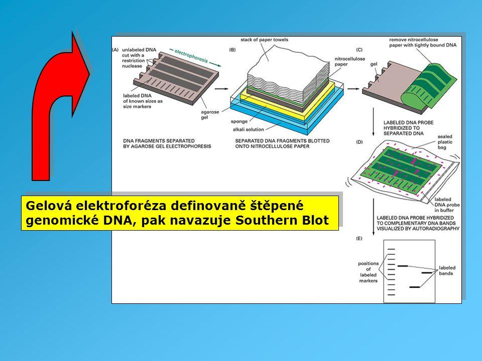 Gelová elektroforéza definovaně štěpené genomické DNA, pak navazuje Southern Blot Gelová elektroforéza definovaně štěpené genomické DNA, pak navazuje