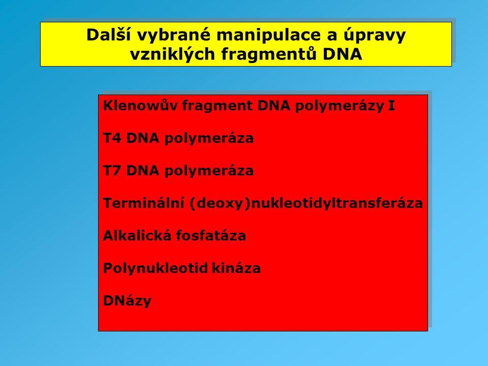 Další vybrané manipulace a úpravy vzniklých fragmentů DNA Klenowův fragment DNA polymerázy I T4 DNA polymeráza T7 DNA polymeráza Terminální (deoxy)nuk