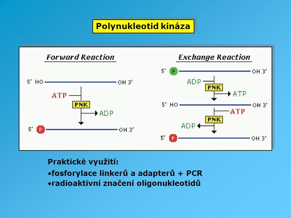Polynukleotid kináza Praktické využití: fosforylace linkerů a adapterů + PCR radioaktivní značení oligonukleotidů