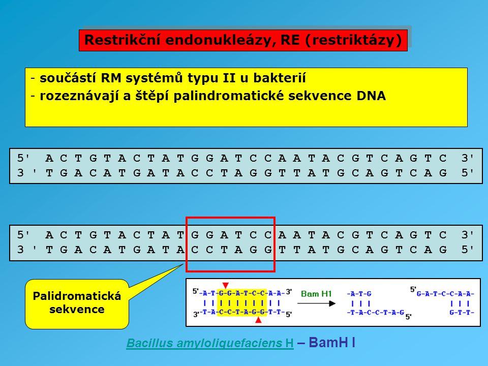 - součástí RM systémů typu II u bakterií - rozeznávají a štěpí palindromatické sekvence DNA 5' A C T G T A C T A T G G A T C C A A T A C G T C A G T C