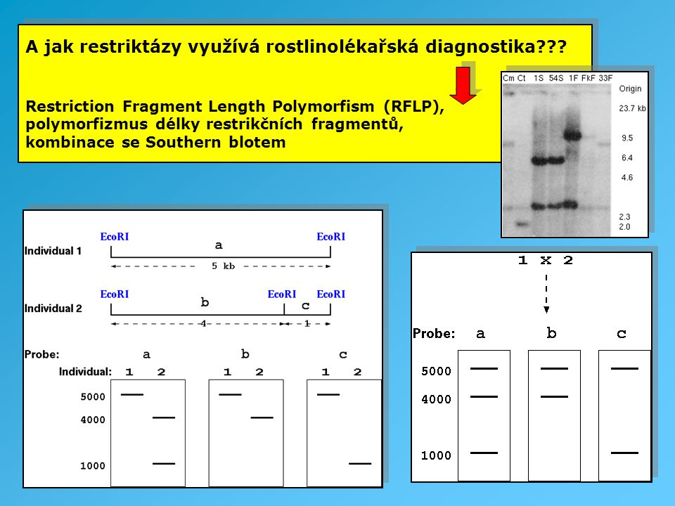 A jak restriktázy využívá rostlinolékařská diagnostika??? Restriction Fragment Length Polymorfism (RFLP), polymorfizmus délky restrikčních fragmentů,
