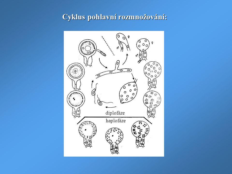 Cyklus pohlavní rozmnožování: diplofáze haplofáze