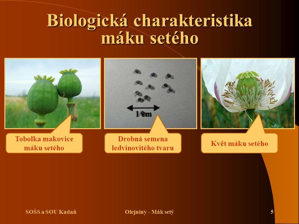 SOŠS a SOU KadaňOlejniny - Mák setý5 Biologická charakteristika máku setého Tobolka makovice máku setého Květ máku setého Drobná semena ledvinovitého