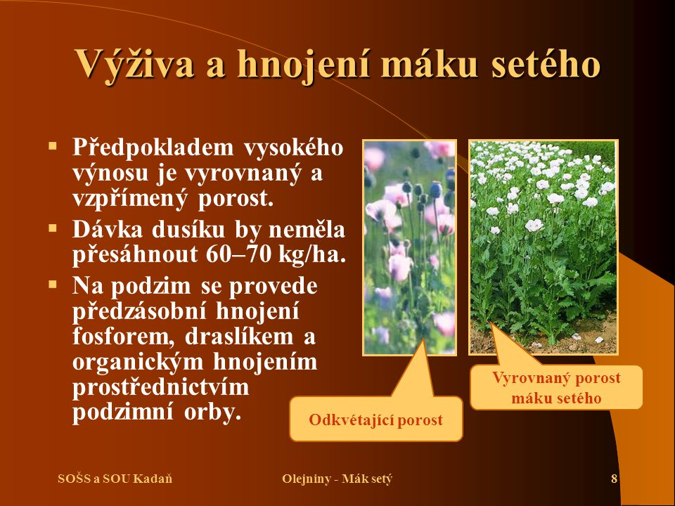 SOŠS a SOU KadaňOlejniny - Mák setý8 Výživa a hnojení máku setého  Předpokladem vysokého výnosu je vyrovnaný a vzpřímený porost.  Dávka dusíku by ne