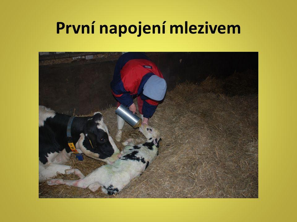 První napojení mlezivem