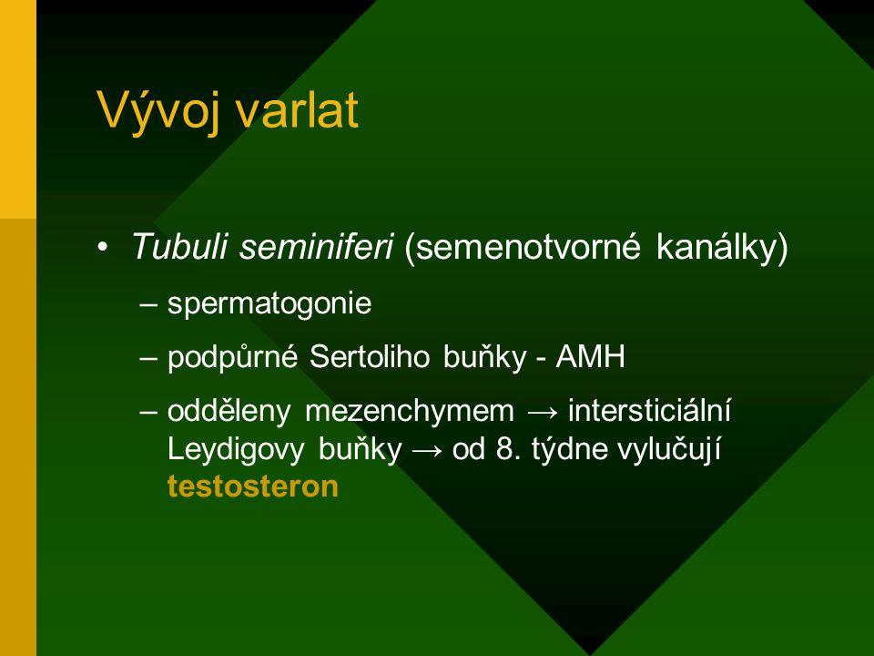 Vývoj varlat Tubuli seminiferi (semenotvorné kanálky) –spermatogonie –podpůrné Sertoliho buňky - AMH –odděleny mezenchymem → intersticiální Leydigovy