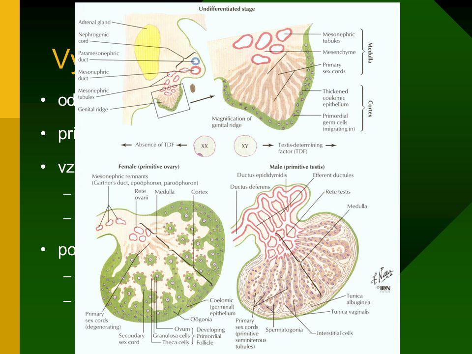 Vývoj vaječníků od 12. týdne primární zárodečné provazce zanikají vznik sekundárních zárodečných provazců –spojení s prvopohlavními buňkami –vznik pri