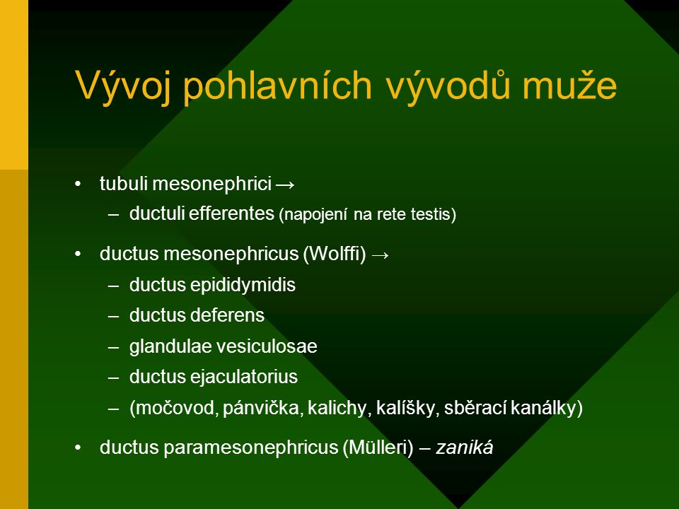 Vývoj pohlavních vývodů muže tubuli mesonephrici → –ductuli efferentes (napojení na rete testis) ductus mesonephricus (Wolffi) → –ductus epididymidis