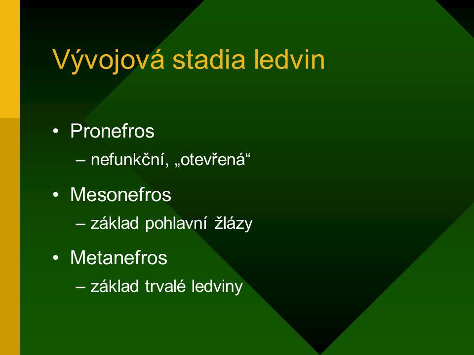 """Vývojová stadia ledvin Pronefros –nefunkční, """"otevřená"""" Mesonefros –základ pohlavní žlázy Metanefros –základ trvalé ledviny"""