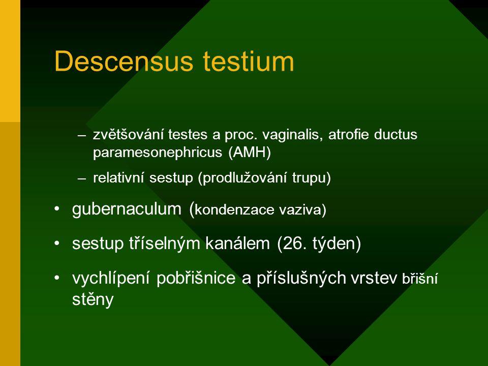 Descensus testium –zvětšování testes a proc. vaginalis, atrofie ductus paramesonephricus (AMH) –relativní sestup (prodlužování trupu) gubernaculum ( k