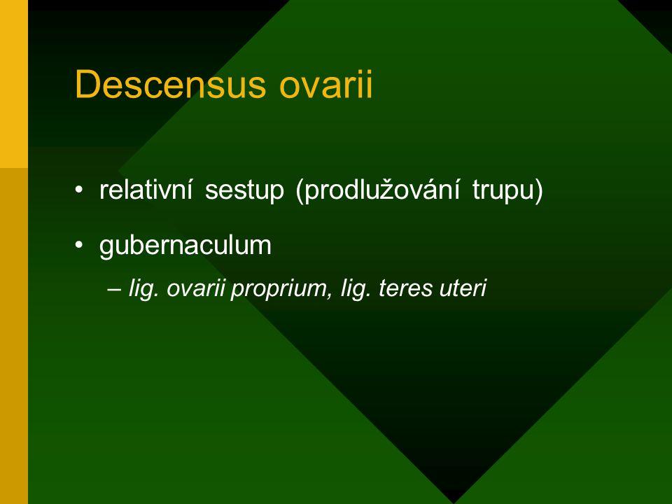 Descensus ovarii relativní sestup (prodlužování trupu) gubernaculum –lig. ovarii proprium, lig. teres uteri