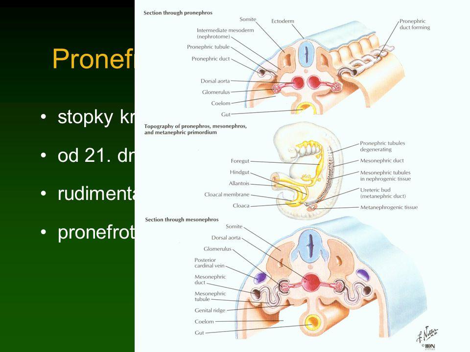 Pronefros stopky kraniálních 12-13 prvosegmentů od 21. dne (4 prvosegmenty) rudimentární, záhy zanikají pronefrotický vývod (ductus Wolffi)