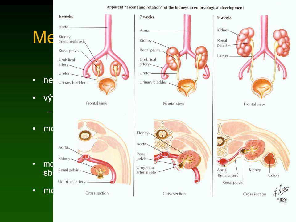 Metanefros nefrogenní blastém 3.-5. bederní prvosegment vývoj začíná na konci 5. týdne –během vývoje dochází k relativnímu vzestupu močovodový pupen v