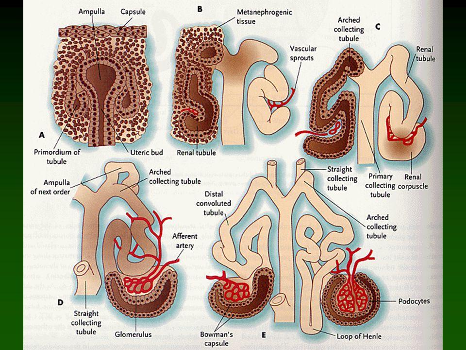Indukce nefronů kulovité tělísko čárkovité tělísko esovité tělísko napojení na větev ureterálního pupenu zrání ledvinového tělíska vzdálenost glomerul