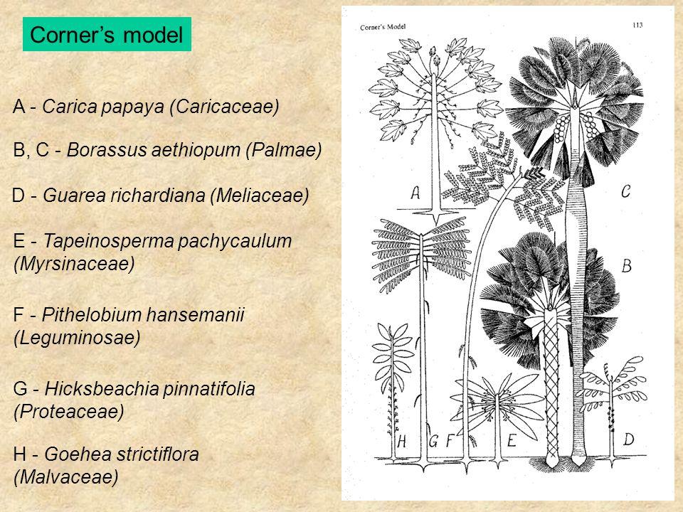 A - Carica papaya (Caricaceae) B, C - Borassus aethiopum (Palmae) D - Guarea richardiana (Meliaceae) E - Tapeinosperma pachycaulum (Myrsinaceae) F - P
