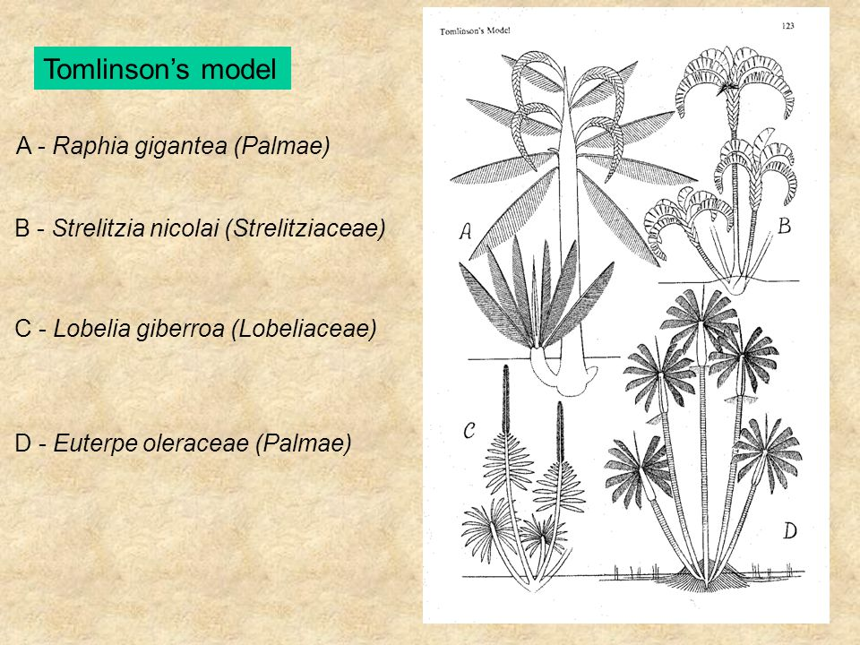A - Raphia gigantea (Palmae) B - Strelitzia nicolai (Strelitziaceae) C - Lobelia giberroa (Lobeliaceae) D - Euterpe oleraceae (Palmae)
