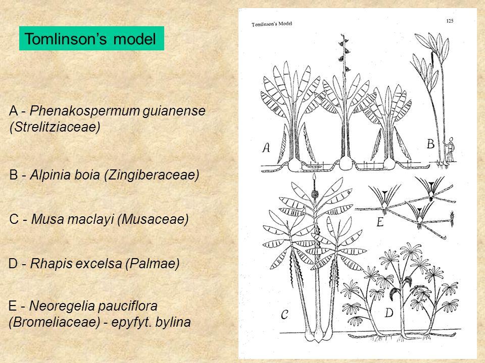 Tomlinson's model A - Phenakospermum guianense (Strelitziaceae) B - Alpinia boia (Zingiberaceae) C - Musa maclayi (Musaceae) D - Rhapis excelsa (Palma