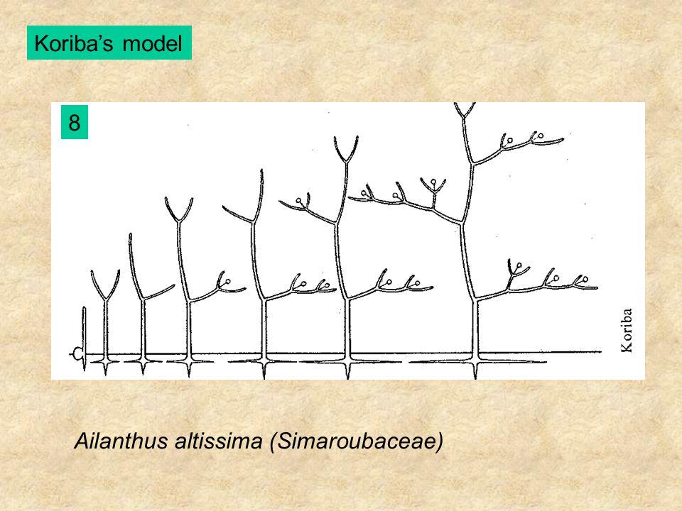 Koriba's model 8 Ailanthus altissima (Simaroubaceae)