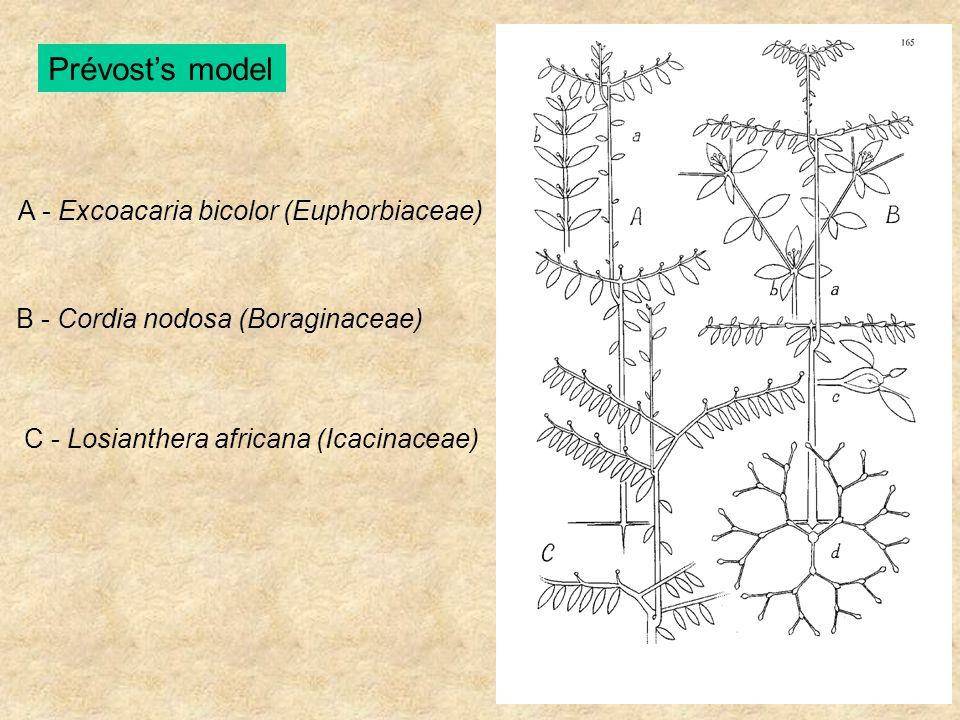 A - Excoacaria bicolor (Euphorbiaceae) B - Cordia nodosa (Boraginaceae) C - Losianthera africana (Icacinaceae)