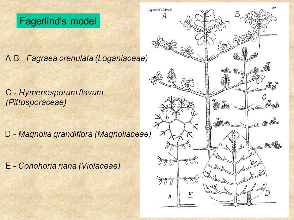 Fagerlind's model A-B - Fagraea crenulata (Loganiaceae) C - Hymenosporum flavum (Pittosporaceae) D - Magnolia grandiflora (Magnoliaceae) E - Conohoria